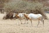 Scimitar Oryx — Stock Photo