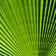 Closeup palm leaf - Foto Stock