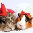 Funny Animals. Guinea pig Christmas portrait — Stock Photo