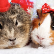 Stock Photo: Funny Animals. Guinea pig Christmas portrait