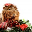 Funny Animal. Guinea Pig Christmas portrait — Stock Photo #7703957