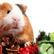 Stock Photo: Funny Animal. Guinea Pig Christmas portrait