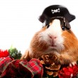 Funny Animal. Guinea Pig Christmas portrait — Foto de Stock