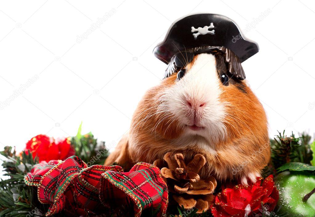 Animal drôle. portrait de Noël cochon d'Inde — Photographie tolokonov © #7703983
