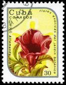 Kuba - około 1986 allamanda — Zdjęcie stockowe