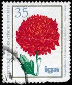 GDR - CIRCA 1975 Chrysanthemum — Stock Photo