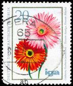 GDR - CIRCA 1975 Transvaal Daisies — Stock Photo