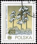 POLAND - CIRCA 1978 Pine — Stock Photo