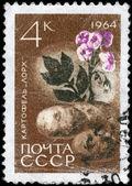 USSR - CIRCA 1964 Potatoes — Stock Photo