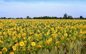 Sunflower — Stockfoto