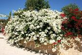 Popínavé květiny — Stock fotografie