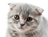 British kitten isolated on white — Stock Photo
