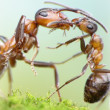 Ants, mother love concept — Stock Photo