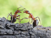 Communication of ants, dialog, links — Stock Photo