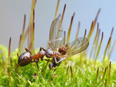 Provider ant carry dead fly — Stock Photo