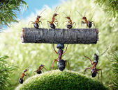 Mighty ant Camponotus Herculeanus and ants Formica Rufa — Stock Photo