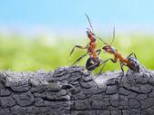 Ants formica rufa on bark, wildlife — Stock Photo