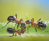 Three ants conspiracy on grass — Stock Photo