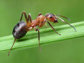 Ant on grass — Stock Photo