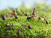 Ants connecting with antennas to create work net — Stock Photo