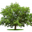 Big tree - oak isolated on a white — Stock Photo