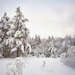 Winter pine forest landscape — Stock Photo
