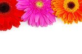 Gerbera kwiat — Zdjęcie stockowe