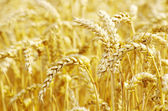 Golden wheat — Stockfoto