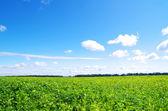 Pole zielone — Zdjęcie stockowe