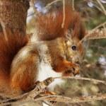 Squirrel — Stock Photo #6849637