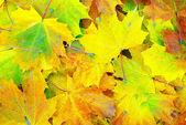 Javorový list pozadí — Stock fotografie