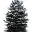 Fir tree — Stock Photo