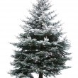Fir tree — Foto de stock #6889837