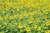 向日葵 — 图库照片