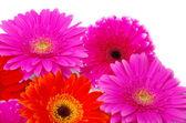 Gerbera bloem — Stockfoto