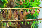Butterflies from cocoons — Stock Photo