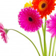 Gerberas - Stock Photo