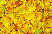 Maple leaf as background — Stock Photo