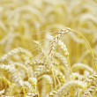 Wheat field — Stock Photo #7060306
