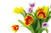 Tulips — Stock Photo