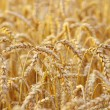 Wheat field — Stock Photo #7151542