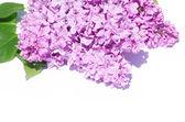 Lilac flower — Stockfoto