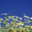 Camomiles on sky — Stock Photo