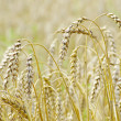 Wheat field — Stock Photo #7245505