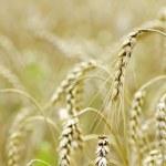 Wheat field — Stock Photo #7245520