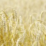 Wheat field — Stock Photo #7336896