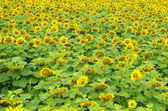 Sonnenblumen — Stockfoto