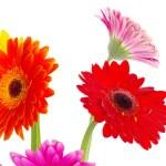 Flowers gerberas — Stock Photo #7421188