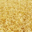 Wheat field — Stock Photo #7421215