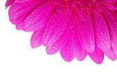 Flor de gerbera — Foto de Stock